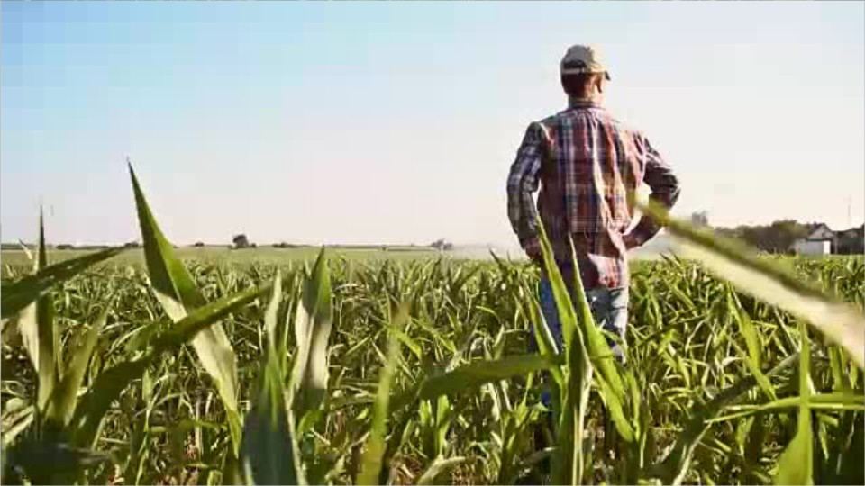 farmer standing in a corn field